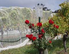Rosesandgrapevines-1